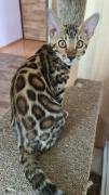Beautiful Bengal purebred kittens